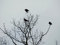 crows silhouette 2