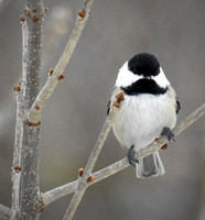 Mr. Mustache chickadee