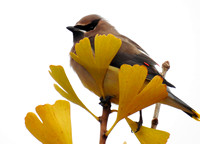 cedar waxwing in gingko tree