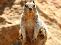 Grand Canyon Squirrel 3