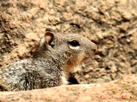 Grand Canyon Squirrel 2