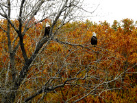 eagle pair in fall