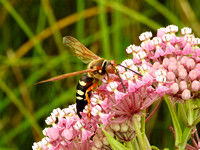 cicada killer on milkweed